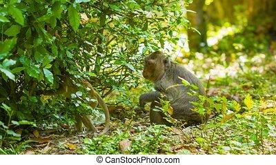 Monkeys in their natural habitat. Cambodia