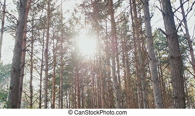 High forest pines in the rays of sunlight. Nature. Forest.