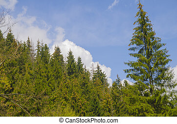 High forest trees