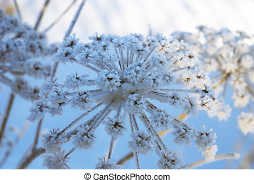 High inflorescences Hogweed dusted with snow.