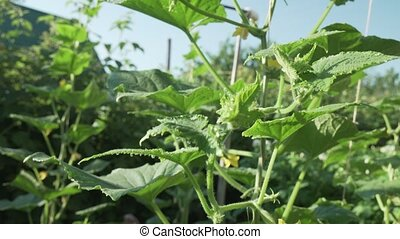 High lashes with cucumbers grow in garden stock footage...