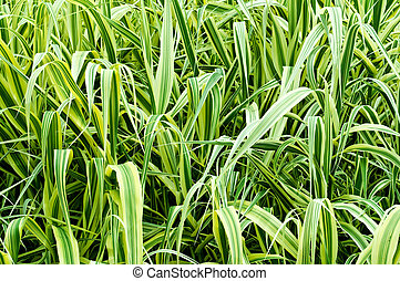 high ornamental grass Phalaris arundinacea as a background