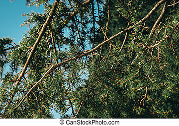 High pine tree with blue sky on background.