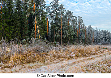 high pine trees in the forest covered with frost