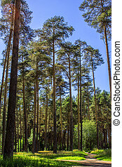 high pines in the summer forest of Russia