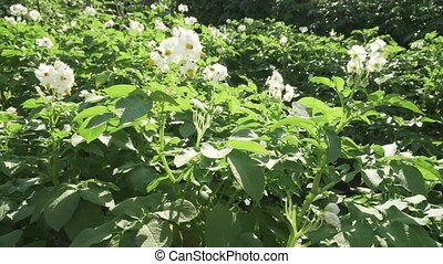 High potato bushes with flowers grow in garden stock footage video