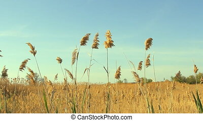 High reed against cloudy sky in win
