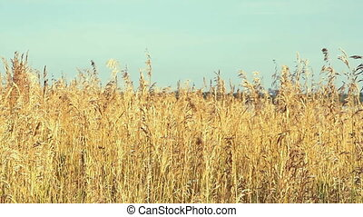 High reed against cloudy sky in wind