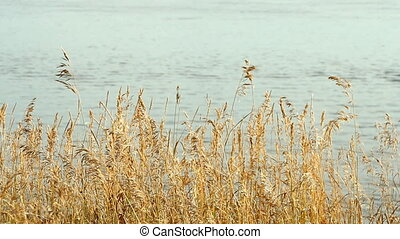 High reed against cloudy sky