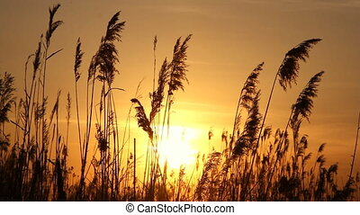 High reed against sunset sky in win