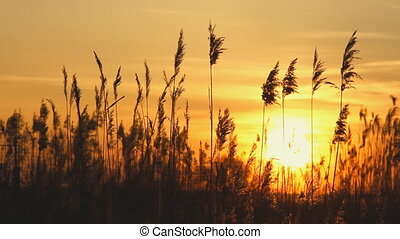 reed against sunset sky - High reed against sunset sky in...