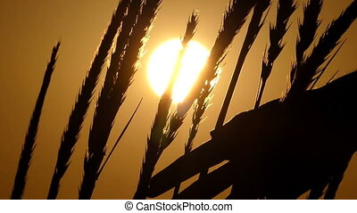High spikelets of wheat swaying in the field at sunset in slo-mo