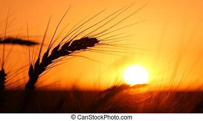 High spikes of golden wheat are in the rays of a splendid...