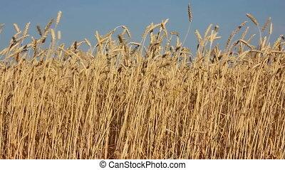 high stems of ripe wheat
