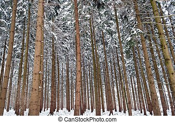 High trees in forest in winter