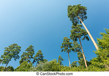 High Trees In The Carpathian Forest