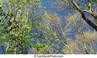 high trees overhead in blue sky - Spring high trees overhead...