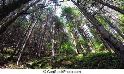 Tall pine trees stretch skyward so their crowns can reach bright sunbeams, in this dense forest of the Carpathian Mountains.