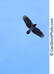 High up flying black and gray crow with large wings in blue clear sky