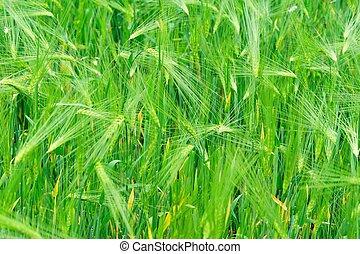 highland barley crops