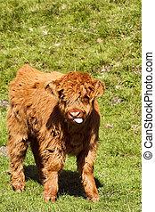 highland calf - a highland calf standing in a sunny meadow