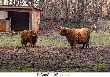 Highland cattle at a farm