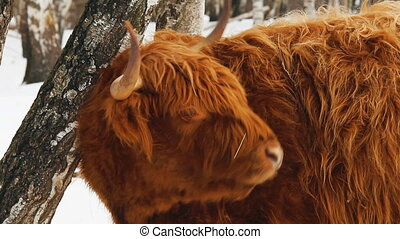Highland cattle brown cow lick her fur