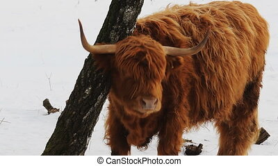 Highland cattle brown cow scratch on tree in winter