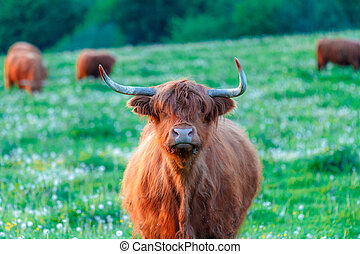 Highland cattle, cow with herd on a grassy meadow, looking into