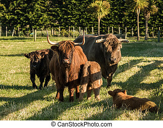 Highland Cattle Family - Family group of some highland...