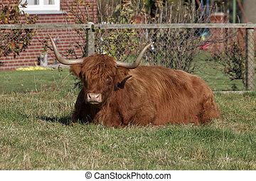 Highland Cattle, Germany