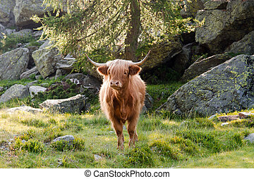 highland cattle grazing in mountain pasture