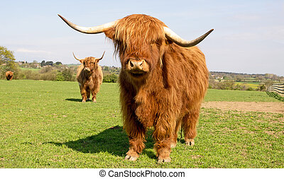 Highland Cattle - Highland cow in a field, with two more...