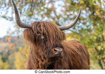 Highland cattle in a pasture in autumn.