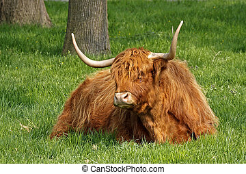 Highland Cattle, Kyloe, Beef cattle