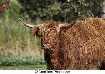 Highland Cattle, Kyloe