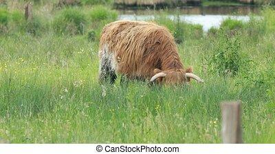 Highland cattle on pasture - Highland cattle pasturing on ...