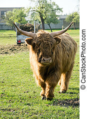 Highland cow in a pasture
