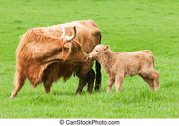 Highland Cow kissing calf in green field