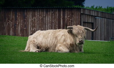 Highland Cow On Windy Day - Long-haired highland cow with...