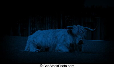 Highland Cow On Windy Night - Hairy highland cow resting in...