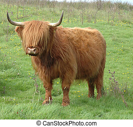 Highland Cow photographed in Scotland