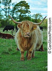 Highland Cow With Long Horns