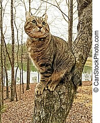 Highland Lynx Cat in a Tree