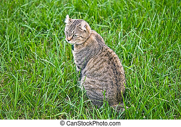 Highland Lynx Cat in Grass