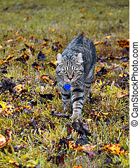 Highland Lynx Cat in Leaves