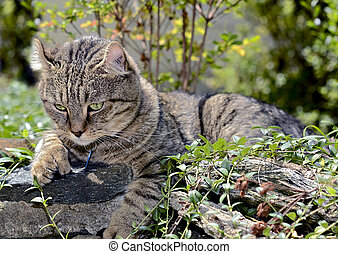 Highland Lynx Cat Lying in Bushes