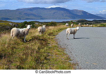 Highland sheep - Sheep wander across the road in the...