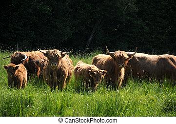 Highlander cow family