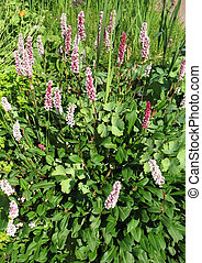 Highlander kin (Polygonum affine), the family Polygonaceae